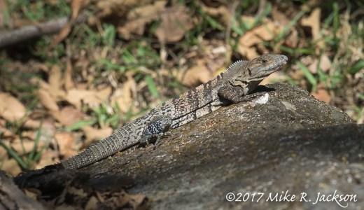 Costa Rica Iguana