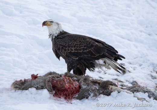 Eagle on Winter Carcass