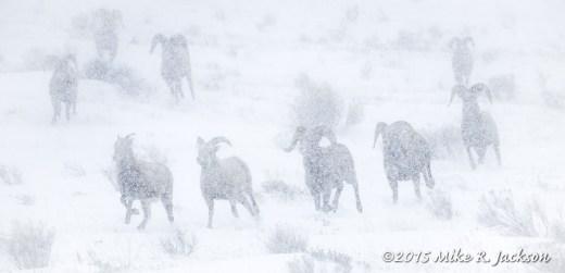 December Bighorns