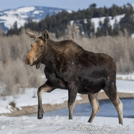 Cow Moose and Gros Ventre