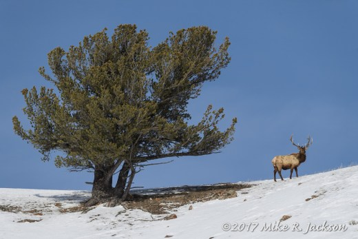 Elk on Ridge