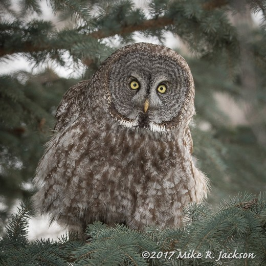 Great Gray Owl in Spruce