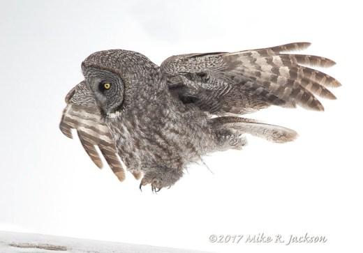 Hopping Owl