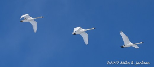 Passing Trumpeter Swans
