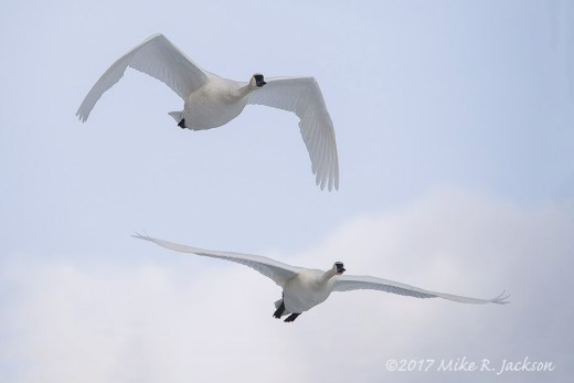 Swan Pair in Flight