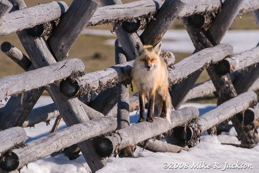 Fox on a Fence