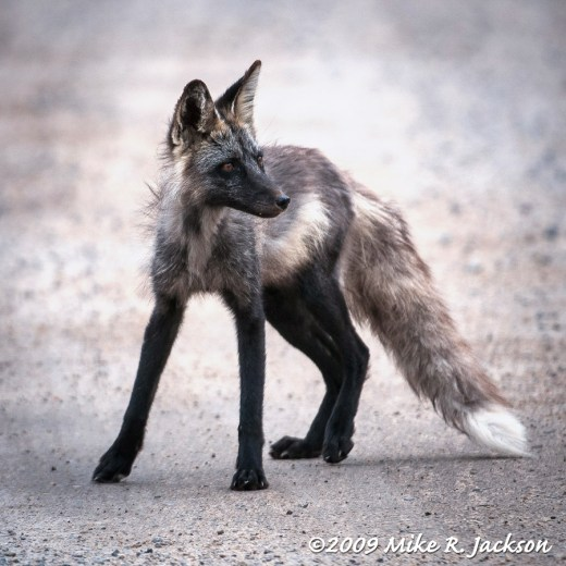 Black Cross Fox