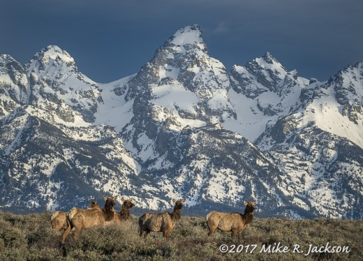 Elk and Tetons