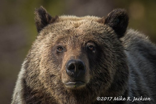 Grizzly Face