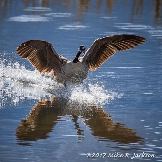 Landing Canada Goose