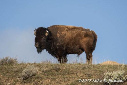 Old Bison on Ridge