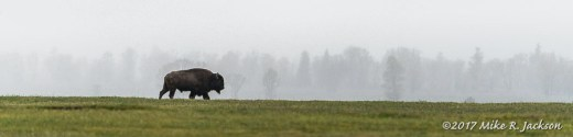Bison In Rain