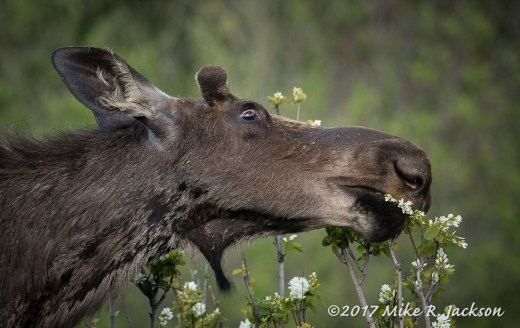 Moose with Flowers
