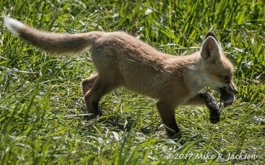 Red Fox Kit with Prize
