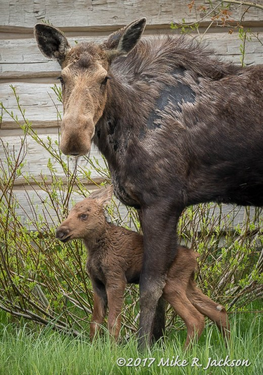 1 Day Old Moose