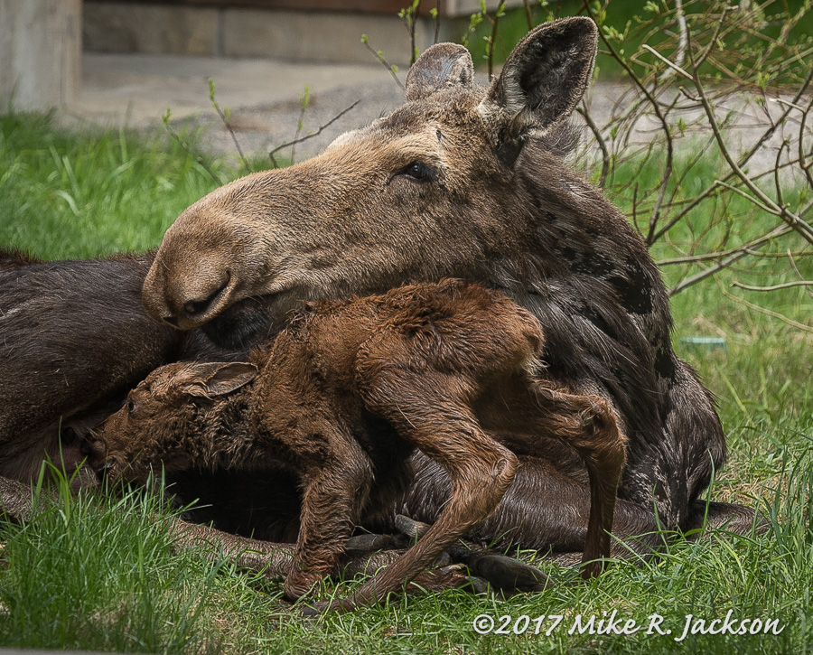 187 Newborn Moose Best Of The Tetons Great Photography Tours In