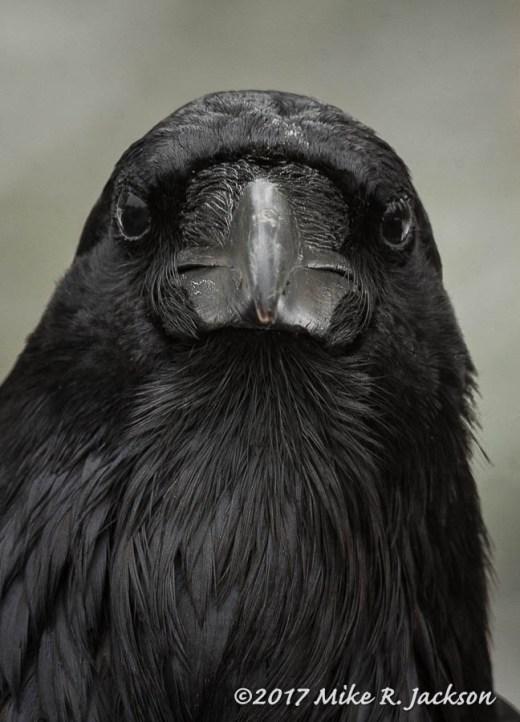 Raven's Face