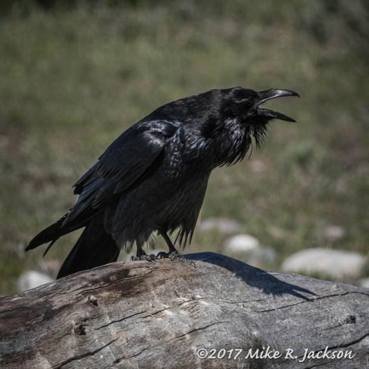 Calling Raven