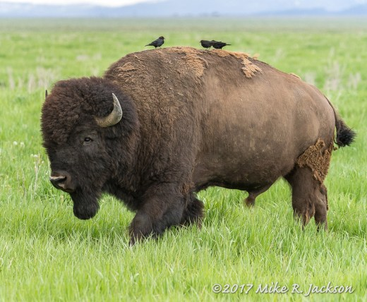 Bison Bull and Brown-headed Cowbirds