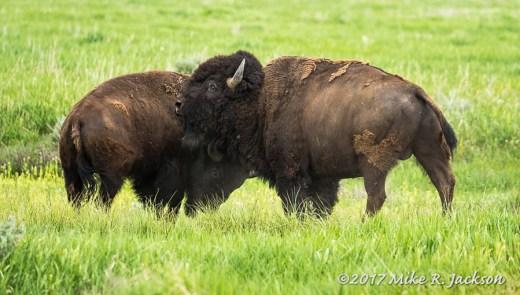 Sparring Bison