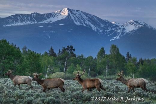 Bull Elk In Velvet