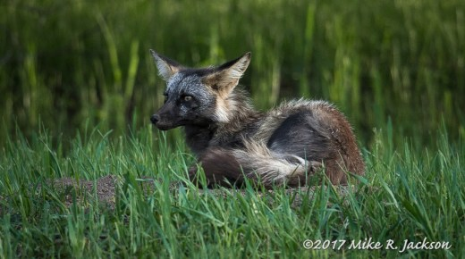 Resting Cross Fox