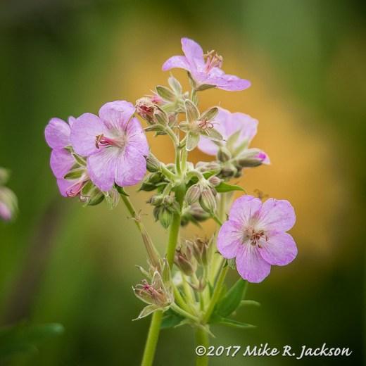 Sticky Geraniums