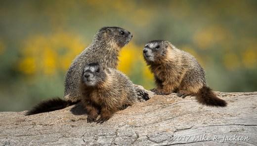 Three Baby Marmots