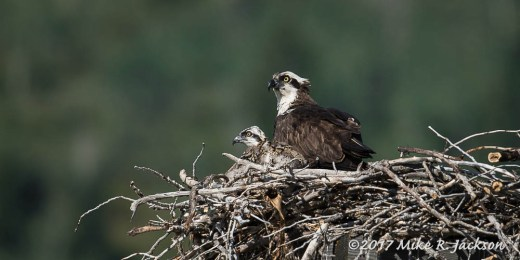 Osprey Female and Chick