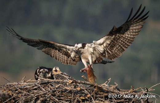 Osprey Male with Fish