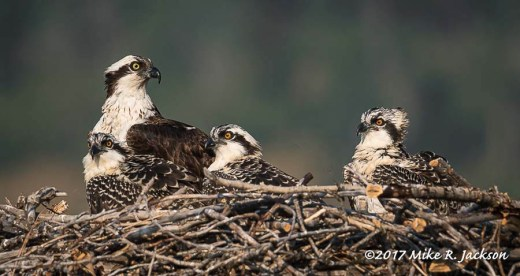 Three Osprey Chicks
