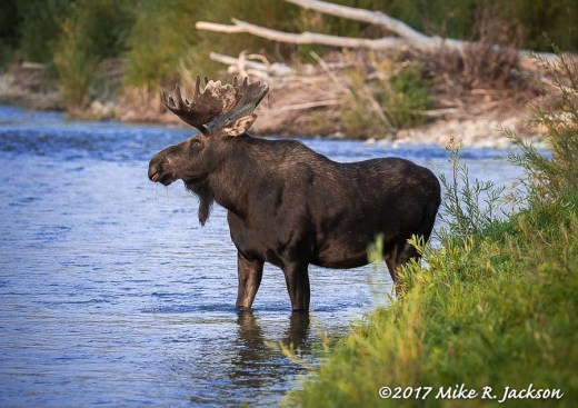 Bull Moose at Water