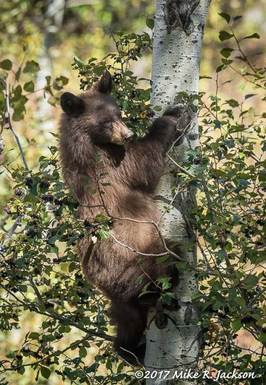 Cub in Aspens