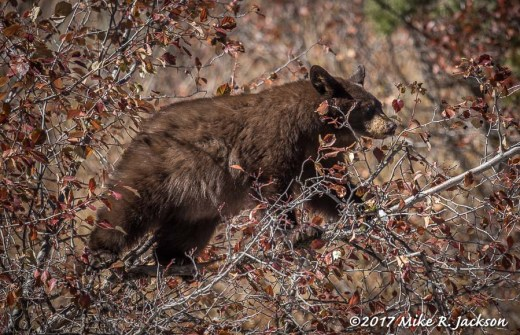 Cub in Black Hawthorn Bush