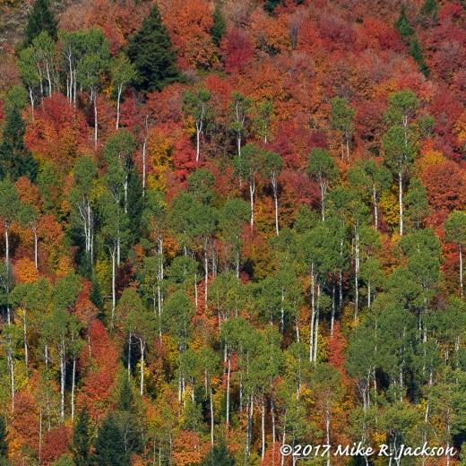 Mtn Maples