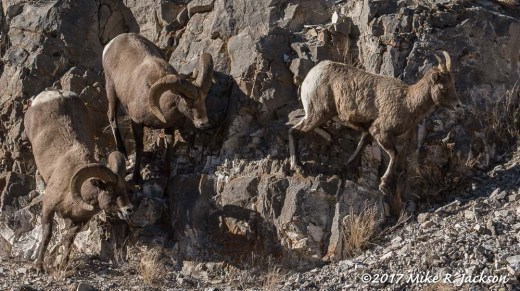 Bighorn Rams and Ewe
