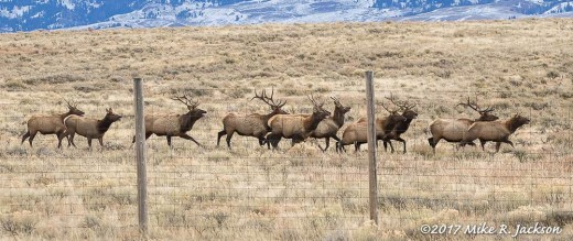 Elk on the Run