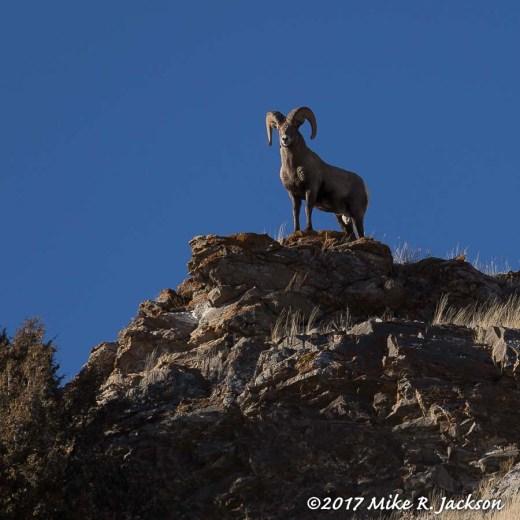 Ram on Ridgeline