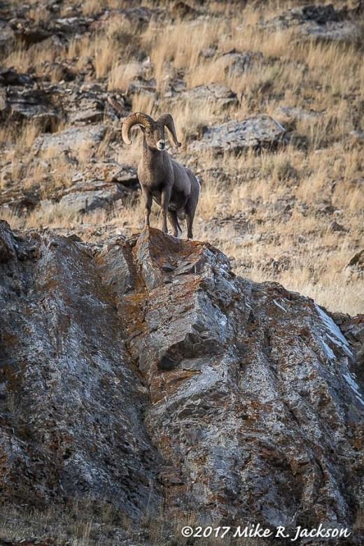 Bighorn Ram on Ridge