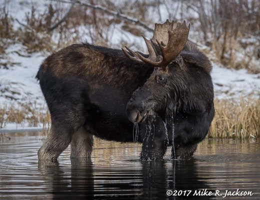 Bull Moose with Dripping Water