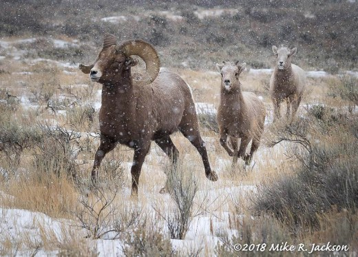 Bighorns on the Run