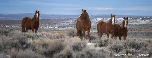 Wild Horses on White Mountain