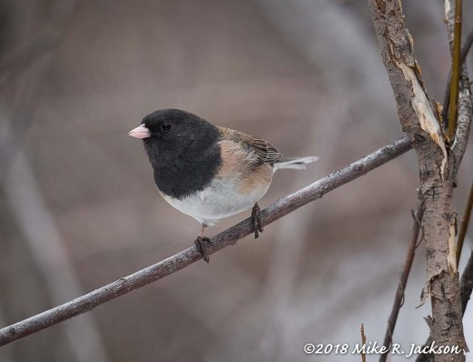 Oregon Junco