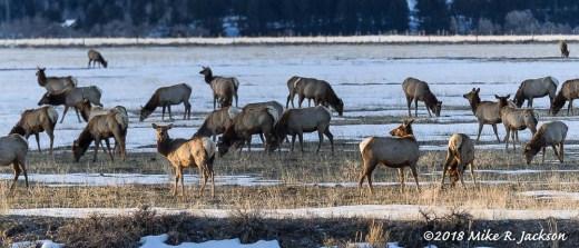 Warm Springs Elk
