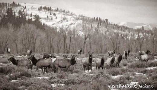 Elk~Sepia Tone:
