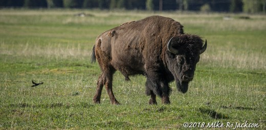 Cowbird and Bison Bull