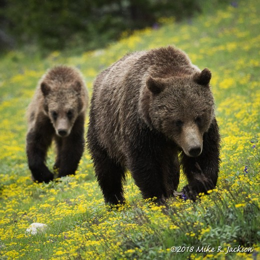 Grizzly 399 and Cub
