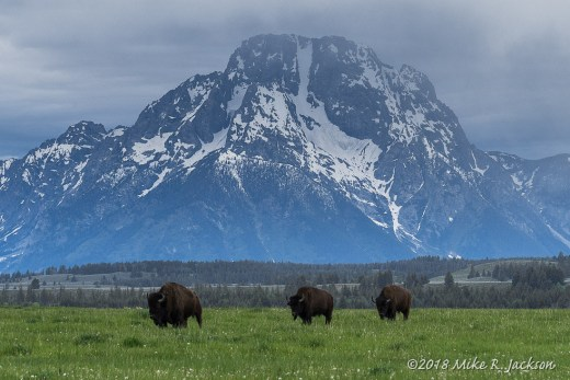 Bison with Mt. Moran