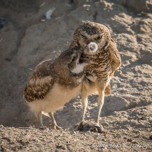 Feeding Burrowing Owls
