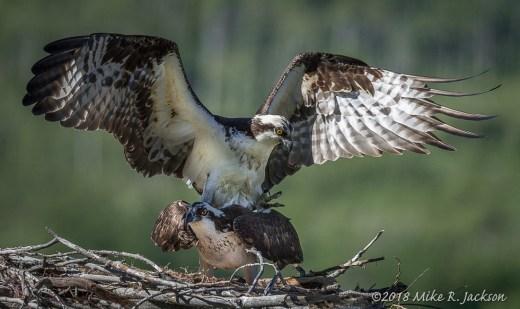 Mating Osprey